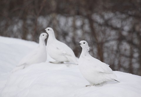 willowptarmigan03.jpg