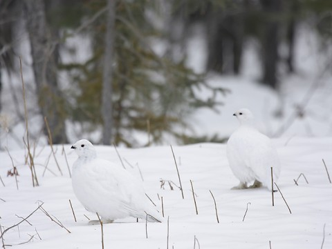 willowptarmigan06.jpg