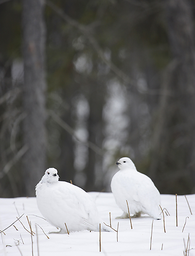 willowptarmigan07.jpg