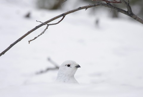willowptarmigan08.jpg