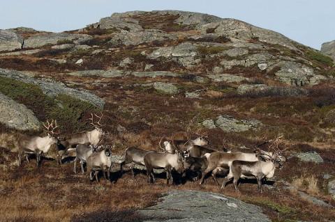 reindeer91.jpg