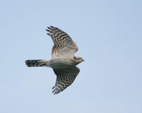 sparrowhawk27.jpg