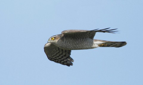 sparrowhawk31.jpg