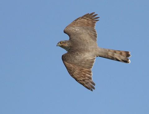 sparrowhawk32.jpg