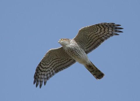 sparrowhawk33.jpg