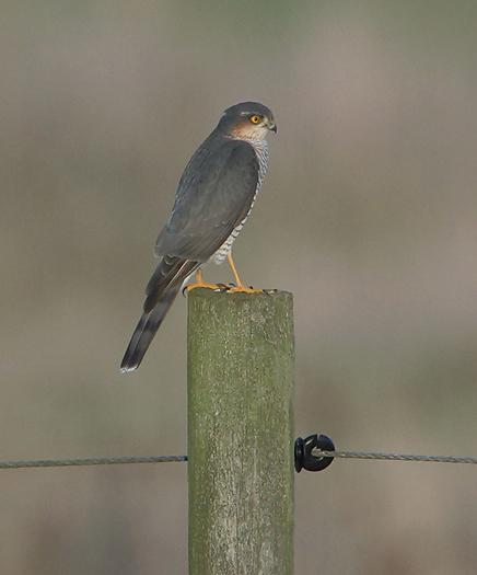 sparrowhawk36.jpg