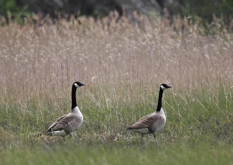 Geese22b.jpg