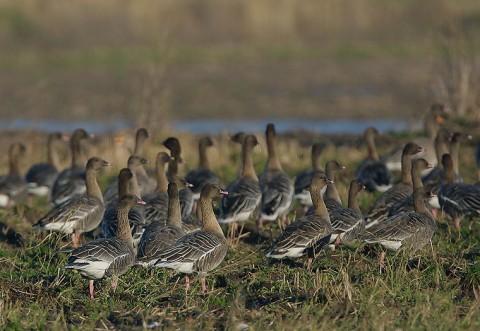 Geese52.jpg