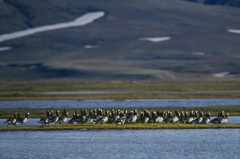 geese21.jpg