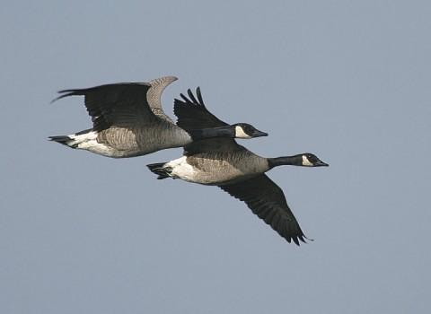 geese23.jpg