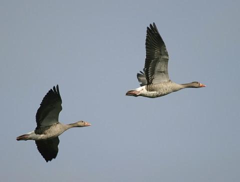 geese24.jpg