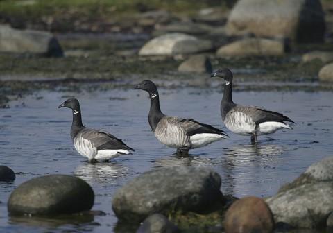 geese26.jpg