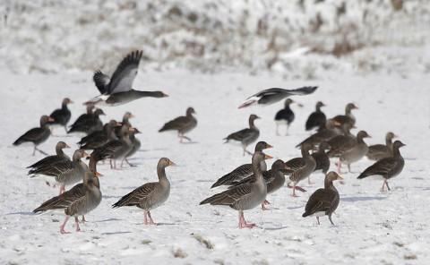 geese27.jpg