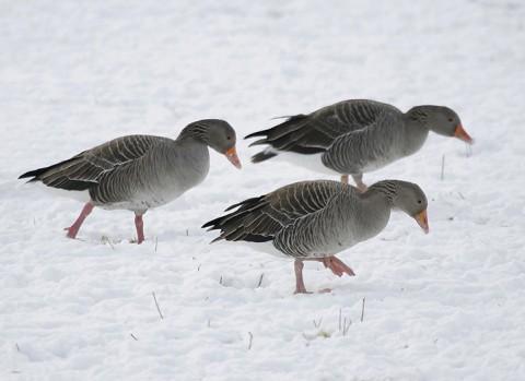 geese35.jpg