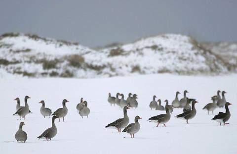 geese36.jpg