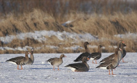 geese37.jpg