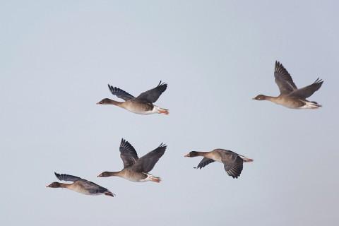 geese39.jpg