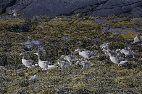 geese41.jpg