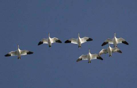 geese42.jpg