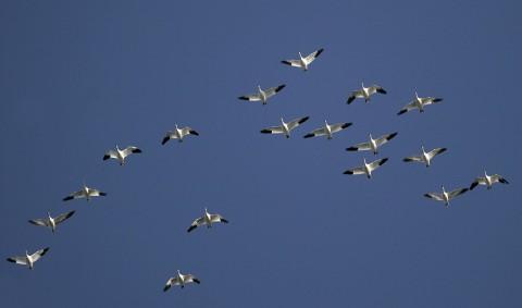 geese43.jpg