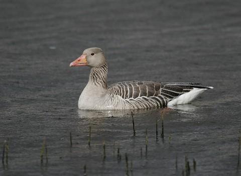 geese44.jpg