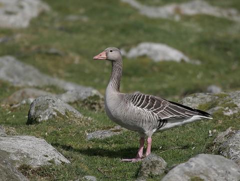geese45.jpg