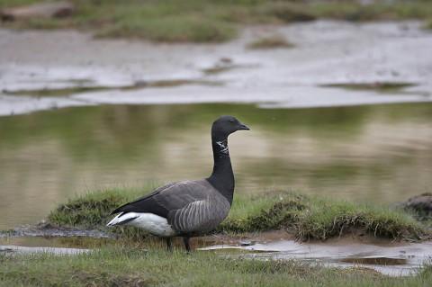 geese47.jpg
