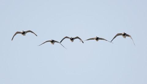 geese49.jpg