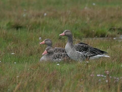 geese50.jpg