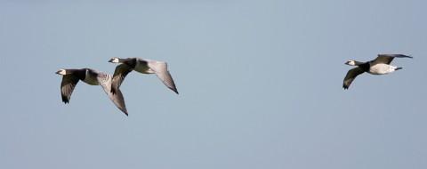 geese51.jpg