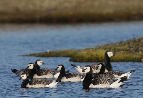 geese54.jpg
