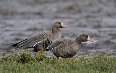 geese55.jpg