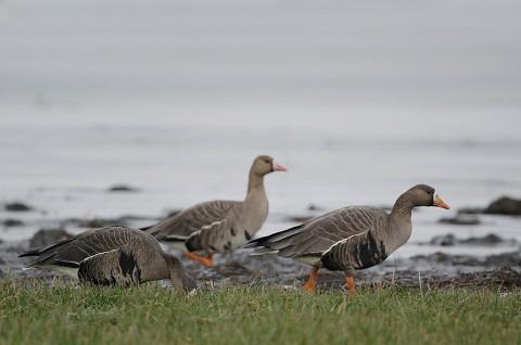 geese56.jpg