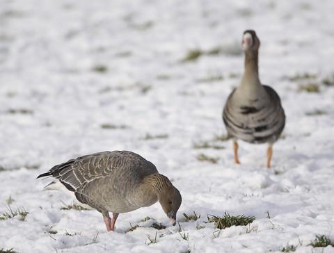 geese59.jpg