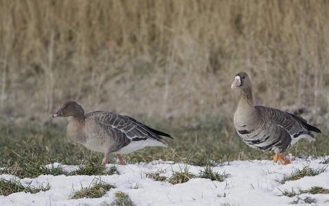 geese60.jpg