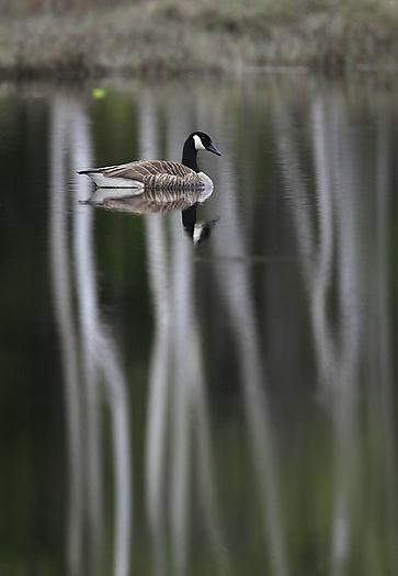 geese61.jpg