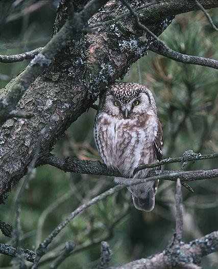 Arctic Tengmalms Owl