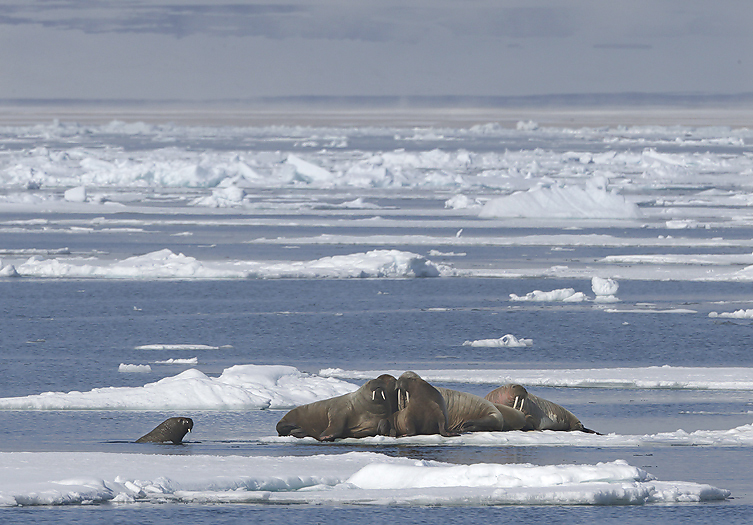 images_phocagallery_walrus_hvalross95c