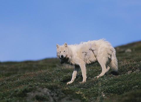 arcticwolf_ellesmere6.jpg