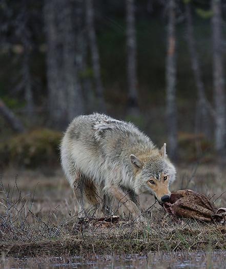 greywolf26.jpg