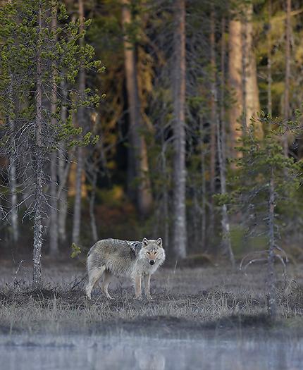 greywolf27b.jpg