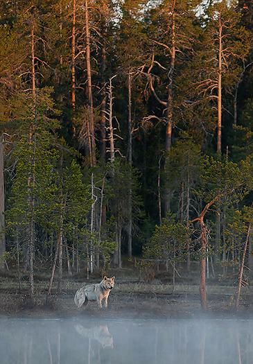 greywolf30.jpg