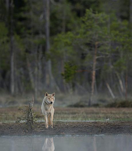 greywolf31.jpg