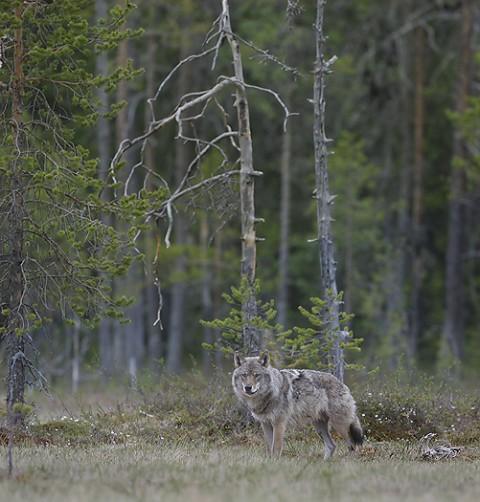 greywolf40.jpg