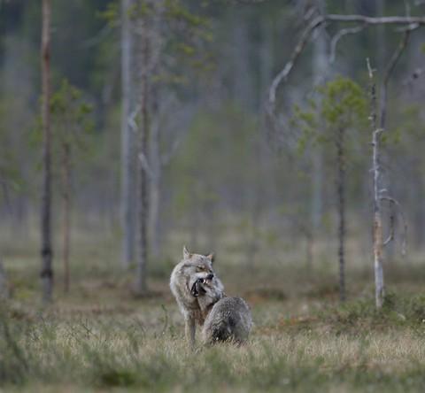 greywolf42.jpg