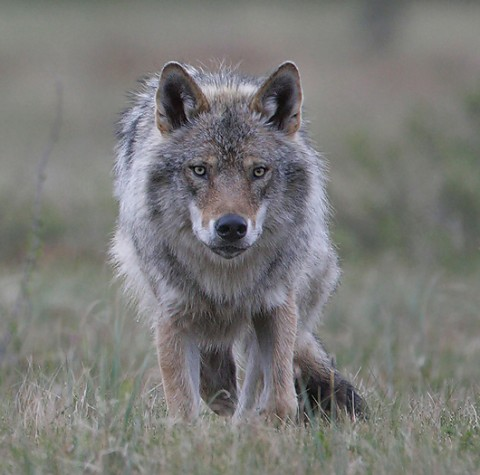 greywolf44.jpg