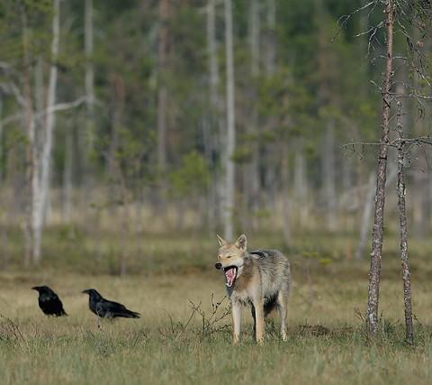 greywolf46.jpg