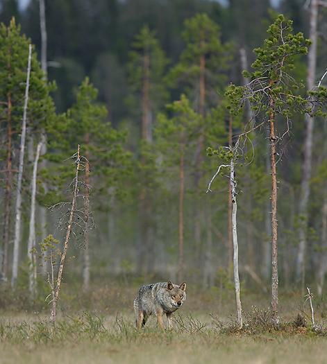 greywolf50.jpg