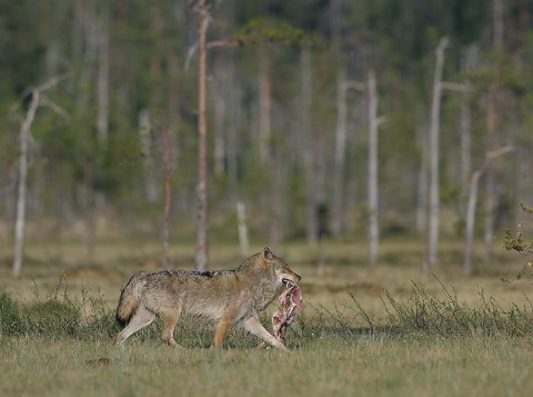 greywolf51.jpg