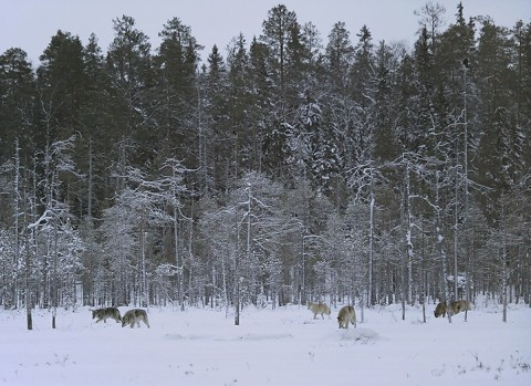 greywolf55.jpg